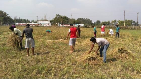 Paddy harvest 3